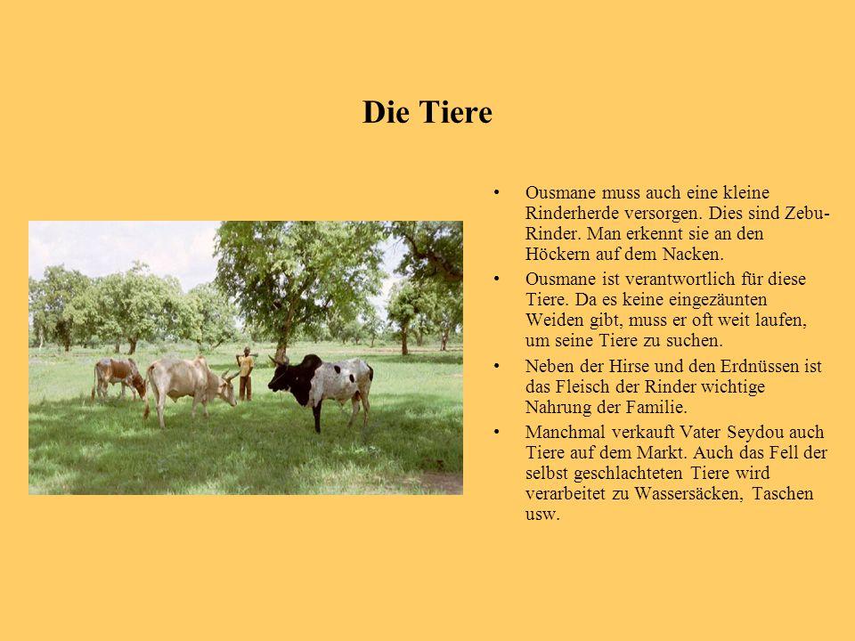 Die Tiere Ousmane muss auch eine kleine Rinderherde versorgen. Dies sind Zebu- Rinder. Man erkennt sie an den Höckern auf dem Nacken. Ousmane ist vera