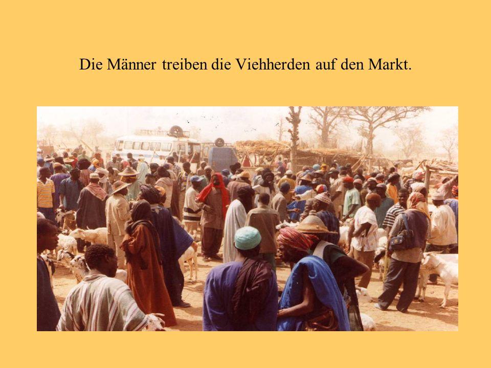 Die Männer treiben die Viehherden auf den Markt.