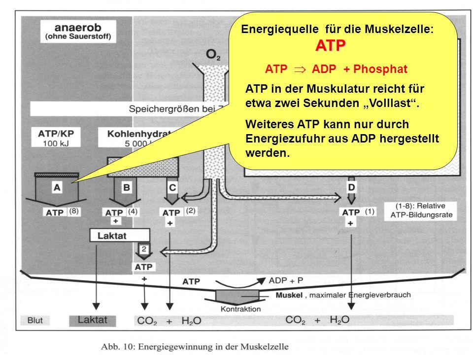 Trainingslehre - Ausdauer Folie 4 2.Energiebereitstellung in der Muskelzelle und Funktion des Herz-Kreislauf-Systems Leistungsfähigkeit des Herz-Kreis