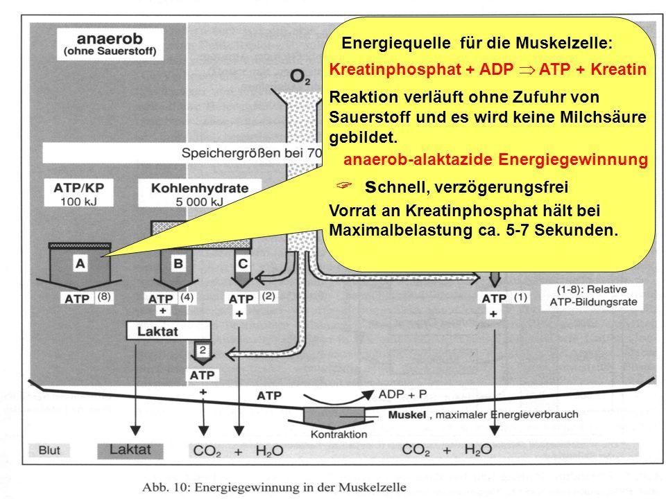 Trainingslehre - Ausdauer Folie 5 Energiequelle für die Muskelzelle: ATP ADP + Phosphat ATP ATP in der Muskulatur reicht für etwa zwei Sekunden Vollla