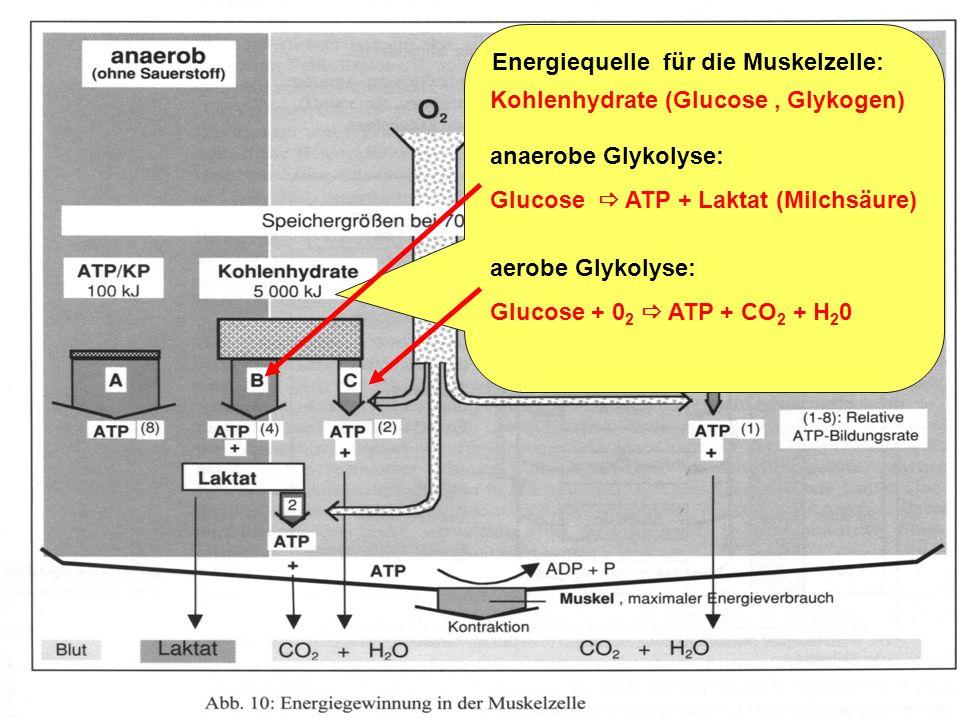 Trainingslehre - Ausdauer Folie 6 Energiequelle für die Muskelzelle: Kreatinphosphat + ADP ATP + Kreatin Reaktion verläuft ohne Zufuhr von Sauerstoff