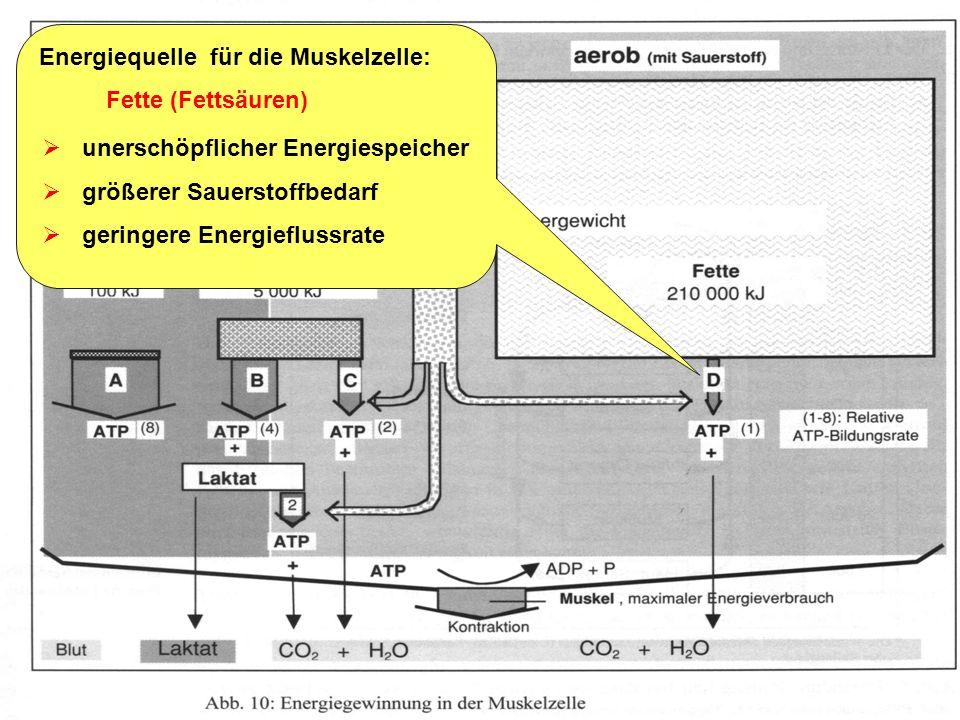 Trainingslehre - Ausdauer Folie 7 Energiequelle für die Muskelzelle: Kohlenhydrate (Glucose, Glykogen) anaerobe Glykolyse: Glucose ATP + Laktat (Milch