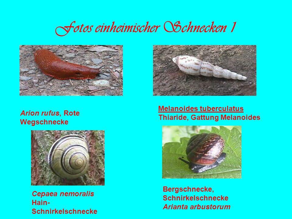 Fotos einheimischer Schnecken 1 Melanoides tuberculatus Thiaride, Gattung Melanoides Arion rufus, Rote Wegschnecke Cepaea nemoralis Hain- Schnirkelsch