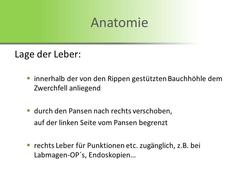 Anatomie Lage der Leber: innerhalb der von den Rippen gestützten Bauchhöhle dem Zwerchfell anliegend durch den Pansen nach rechts verschoben, auf der