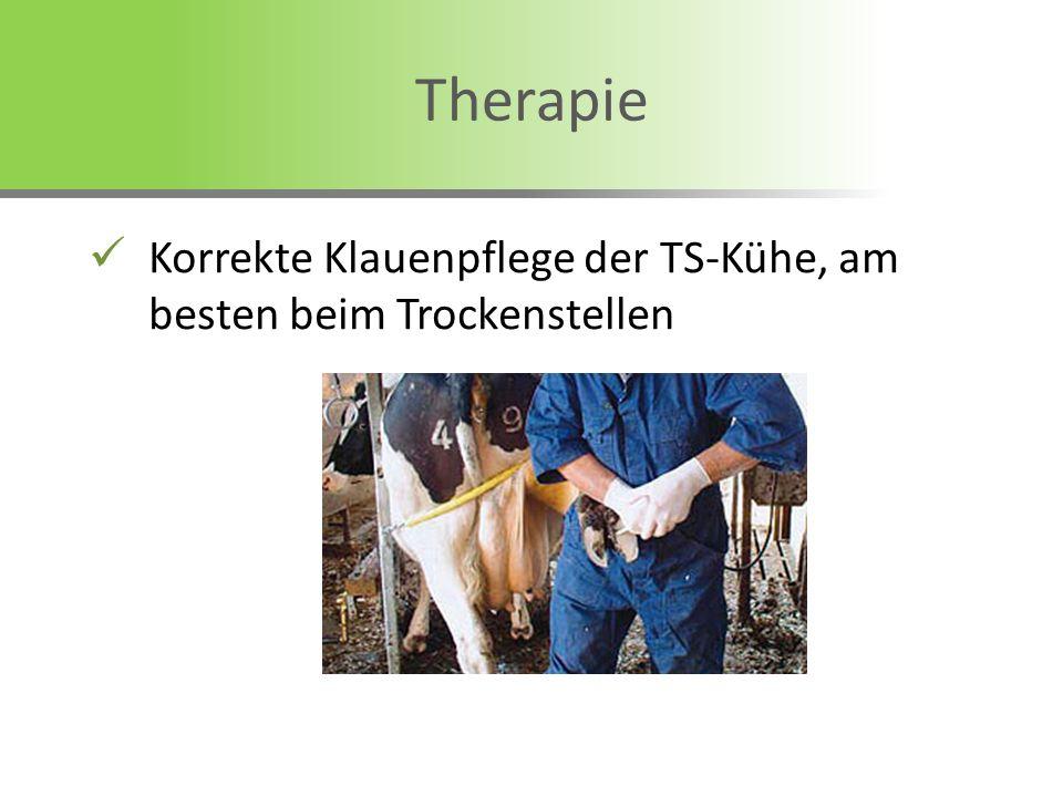 Korrekte Klauenpflege der TS-Kühe, am besten beim Trockenstellen Therapie