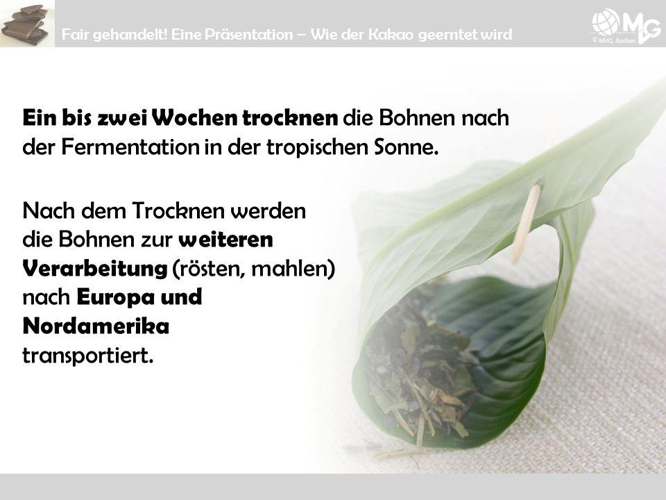 Ein bis zwei Wochen trocknen die Bohnen nach der Fermentation in der tropischen Sonne. Nach dem Trocknen werden die Bohnen zur weiteren Verarbeitung (