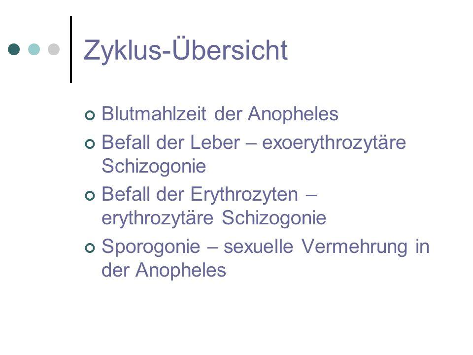 Zyklus-Übersicht Blutmahlzeit der Anopheles Befall der Leber – exoerythrozytäre Schizogonie Befall der Erythrozyten – erythrozytäre Schizogonie Sporog