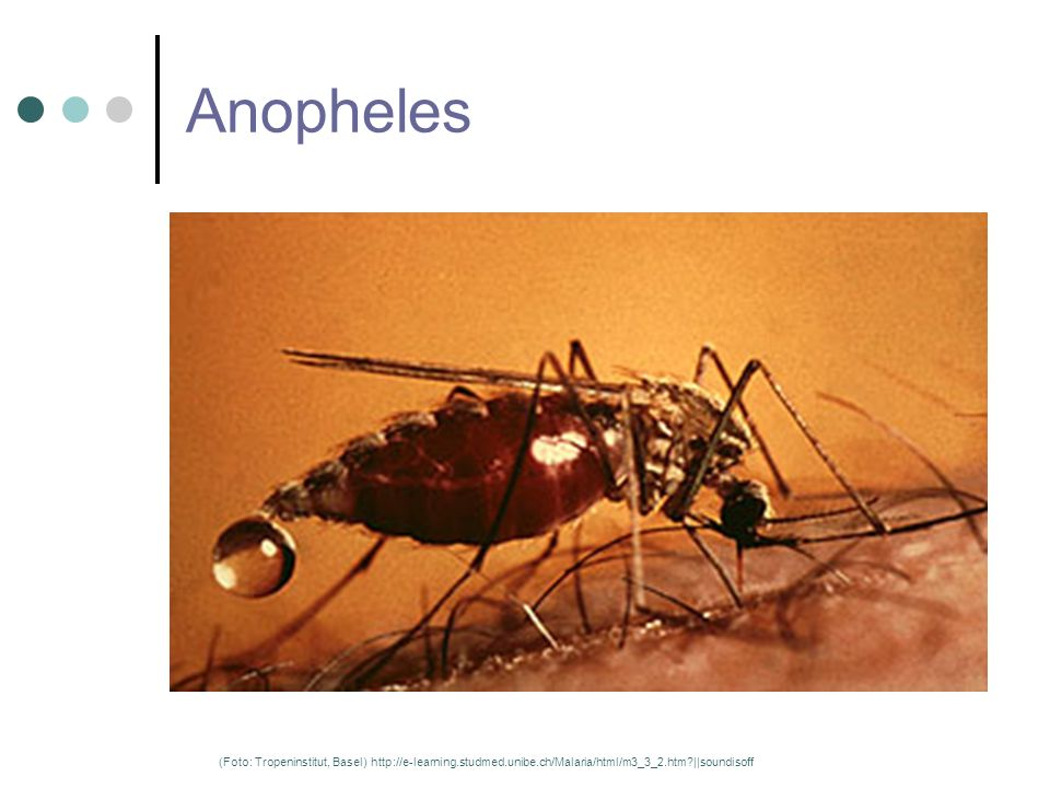 Anopheles (Foto: Tropeninstitut, Basel) http://e-learning.studmed.unibe.ch/Malaria/html/m3_3_2.htm?||soundisoff