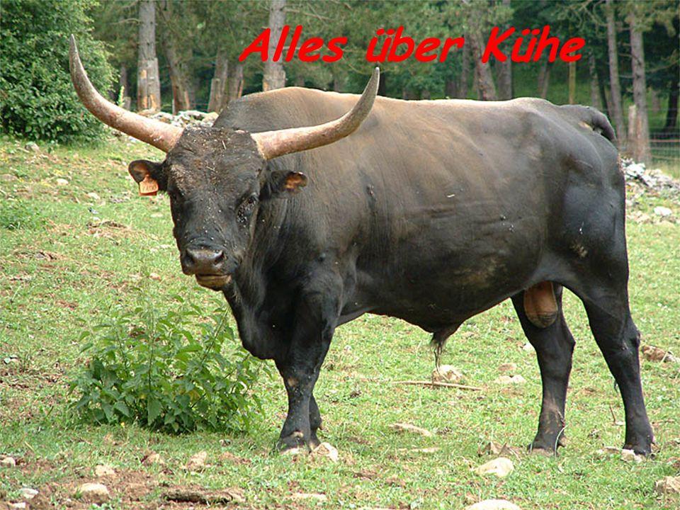 Rinderrassen Weltweit wird zwischen etwa 500 verschiedene Rinderrassen unterschieden...