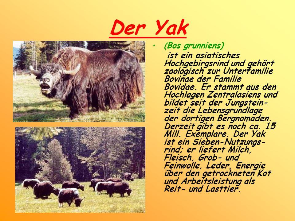 Der Yak ( Bos grunniens) ist ein asiatisches Hochgebirgsrind und gehört zoologisch zur Unterfamilie Bovinae der Familie Bovidae. Er stammt aus den Hoc