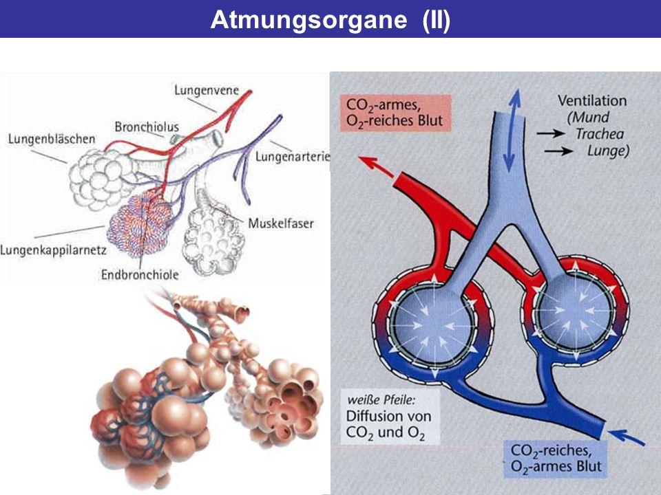 Atmungsorgane (II)