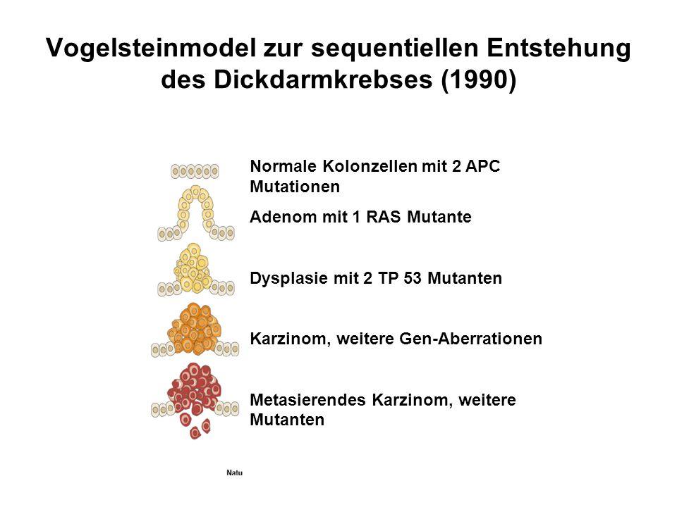 Vogelsteinmodel zur sequentiellen Entstehung des Dickdarmkrebses (1990) Normale Kolonzellen mit 2 APC Mutationen Adenom mit 1 RAS Mutante Dysplasie mi