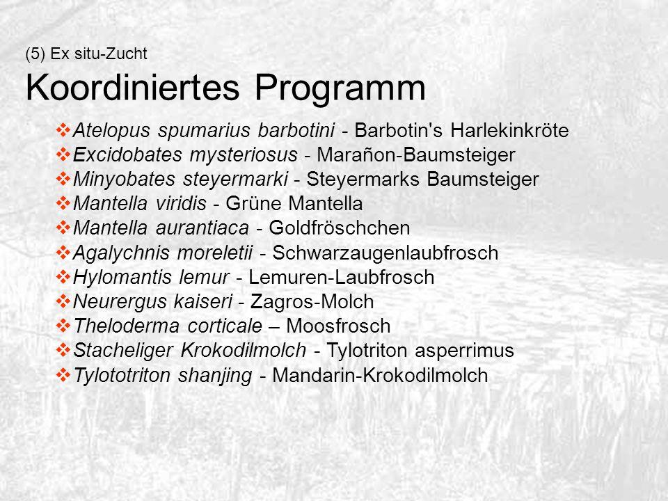 Atelopus spumarius barbotini - Barbotin's Harlekinkröte Excidobates mysteriosus - Marañon-Baumsteiger Minyobates steyermarki - Steyermarks Baumsteiger