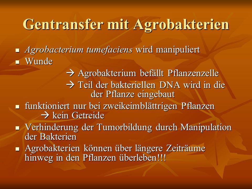 Gentransfer mit Agrobakterien Agrobacterium tumefaciens wird manipuliert Agrobacterium tumefaciens wird manipuliert Wunde Wunde Agrobakterium befällt