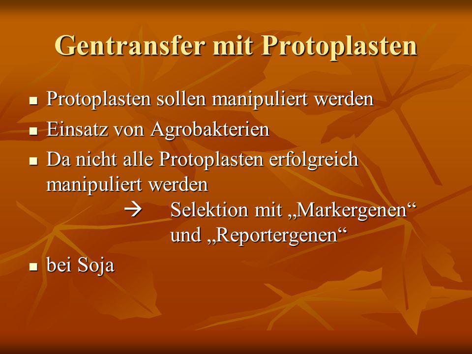 Gentransfer mit Protoplasten Protoplasten sollen manipuliert werden Protoplasten sollen manipuliert werden Einsatz von Agrobakterien Einsatz von Agrob