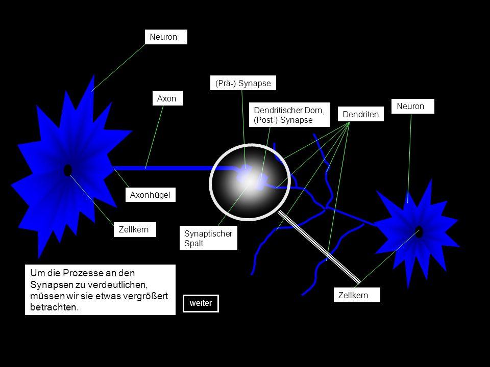 Neuron Zellkern Axon (Prä-) Synapse Synaptischer Spalt Dendritischer Dorn, (Post-) Synapse Dendriten Axonhügel Neuron Zellkern Um die Prozesse an den Synapsen zu verdeutlichen, müssen wir sie etwas vergrößert betrachten.