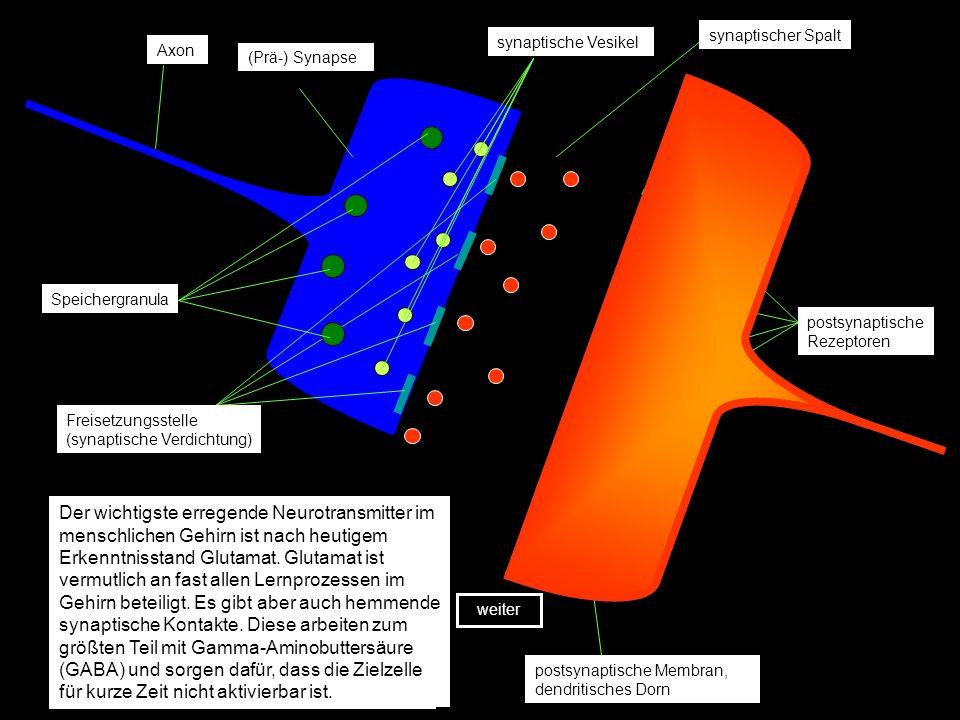 Die Abbildung zeigt zwei schematisierte Synapsen, an denen die Veränderungen, die zum Lernen führen, deutlich gemacht werden sollen.