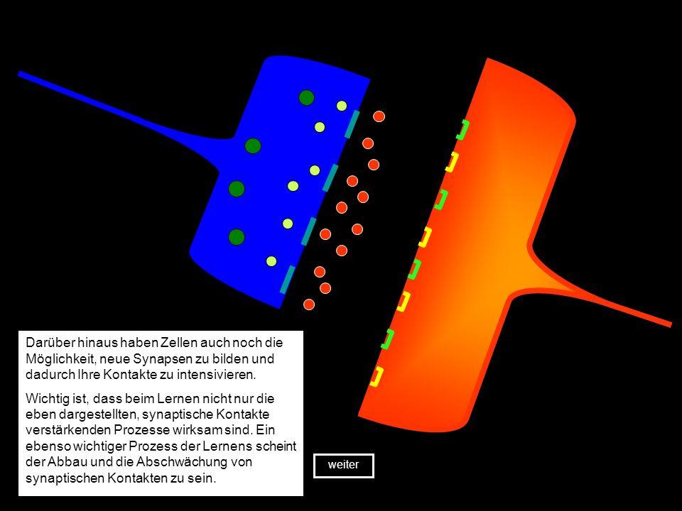 Wird die Zielzelle durch den einlaufenden Impuls erregt, verstärken die synaptischen Kontakte ihre Verbindung zueinander.
