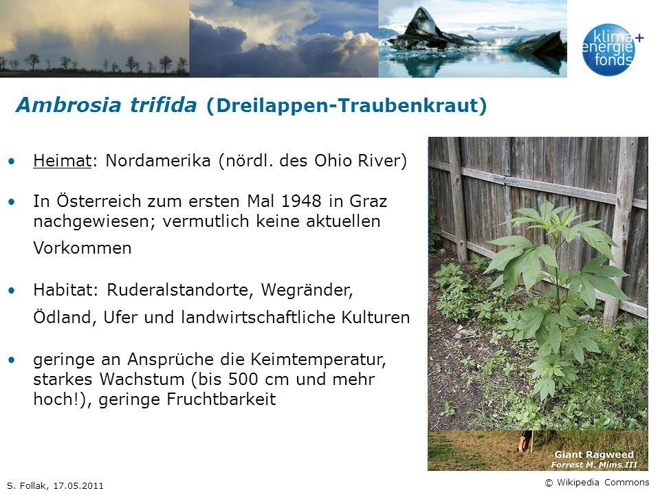 Ambrosia trifida (Dreilappen-Traubenkraut) Heimat: Nordamerika (nördl. des Ohio River) In Österreich zum ersten Mal 1948 in Graz nachgewiesen; vermutl