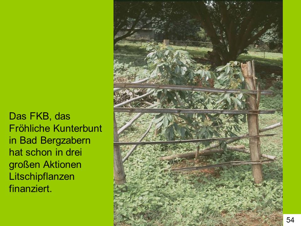 54 Das FKB, das Fröhliche Kunterbunt in Bad Bergzabern hat schon in drei großen Aktionen Litschipflanzen finanziert.