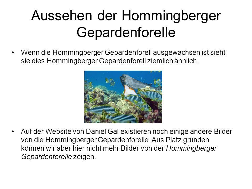 Aussehen der Hommingberger Gepardenforelle Wenn die Hommingberger Gepardenforell ausgewachsen ist sieht sie dies Hommingberger Gepardenforell ziemlich