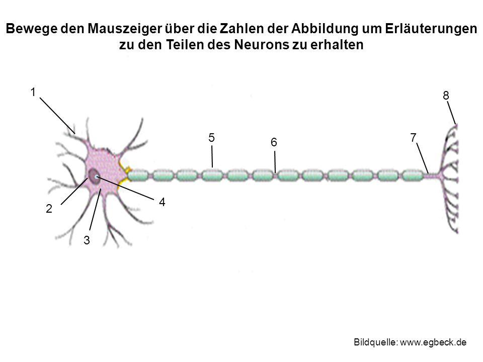 Bewege den Mauszeiger über die Zahlen der Abbildung um Erläuterungen zu den Teilen des Neurons zu erhalten 1 2 3 4 75 6 8 Bildquelle: www.egbeck.de