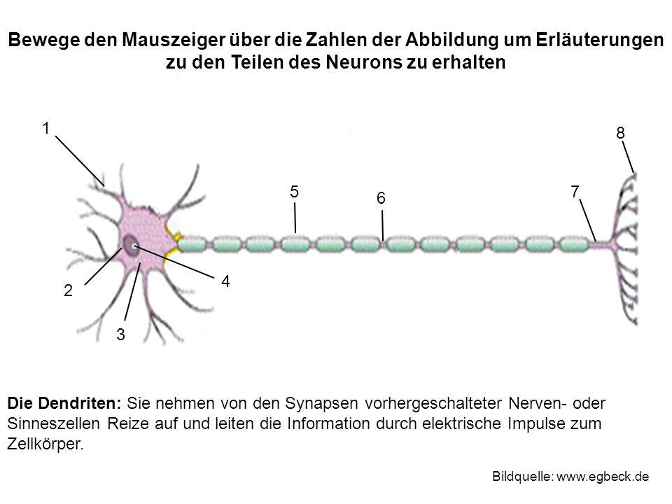 Bewege den Mauszeiger über die Zahlen der Abbildung um Erläuterungen zu den Teilen des Neurons zu erhalten 1 2 3 4 75 6 8 Bildquelle: www.egbeck.de Di