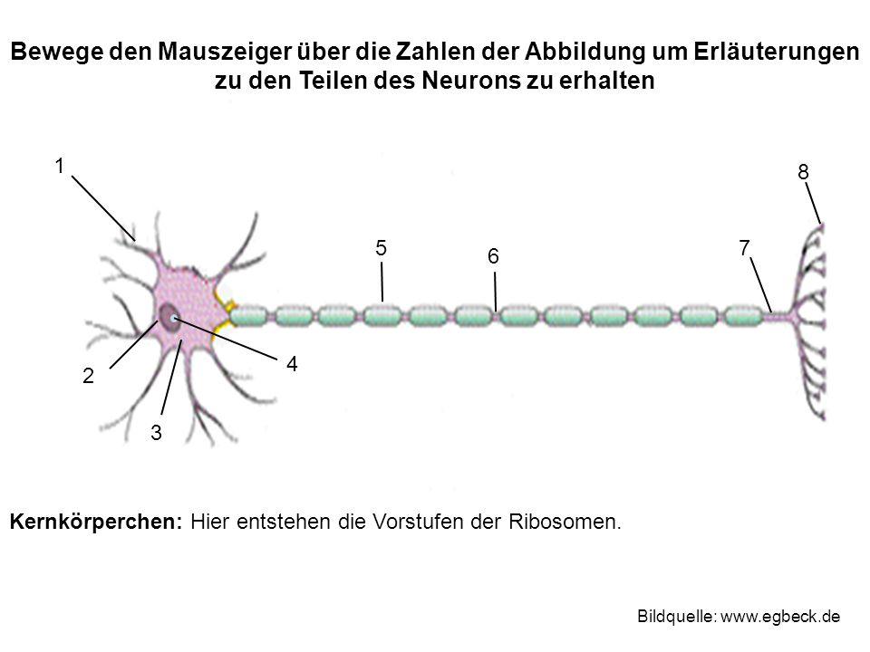 Bewege den Mauszeiger über die Zahlen der Abbildung um Erläuterungen zu den Teilen des Neurons zu erhalten 1 2 3 4 75 6 8 Bildquelle: www.egbeck.de Ke