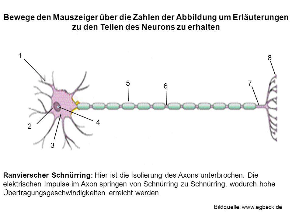 Bewege den Mauszeiger über die Zahlen der Abbildung um Erläuterungen zu den Teilen des Neurons zu erhalten 1 2 3 4 75 6 8 Bildquelle: www.egbeck.de Ra