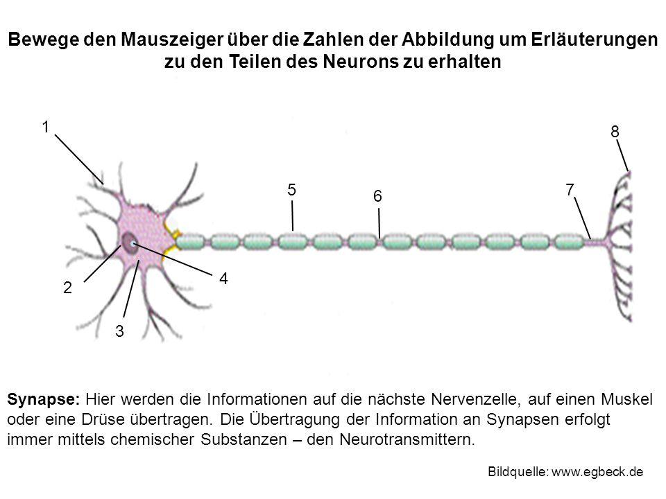 Bewege den Mauszeiger über die Zahlen der Abbildung um Erläuterungen zu den Teilen des Neurons zu erhalten 1 2 3 4 75 6 8 Bildquelle: www.egbeck.de Sy