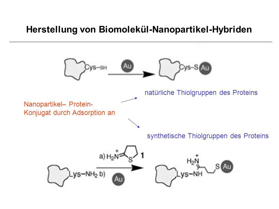 Herstellung von Biomolekül-Nanopartikel-Hybriden Nanopartikel– Protein- Konjugat durch Adsorption an natürliche Thiolgruppen des Proteins synthetische