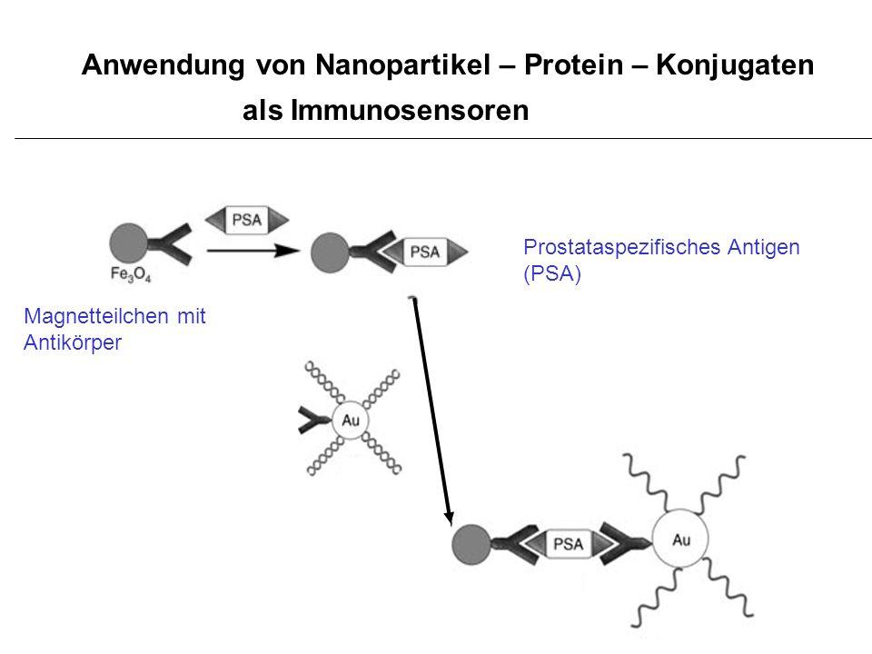 Anwendung von Nanopartikel – Protein – Konjugaten als Immunosensoren Prostataspezifisches Antigen (PSA) Magnetteilchen mit Antikörper
