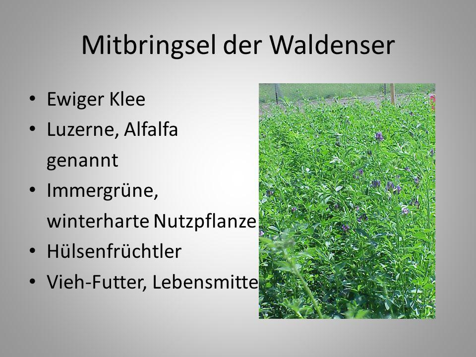 Mitbringsel der Waldenser Ewiger Klee Luzerne, Alfalfa genannt Immergrüne, winterharte Nutzpflanze Hülsenfrüchtler Vieh-Futter, Lebensmittel