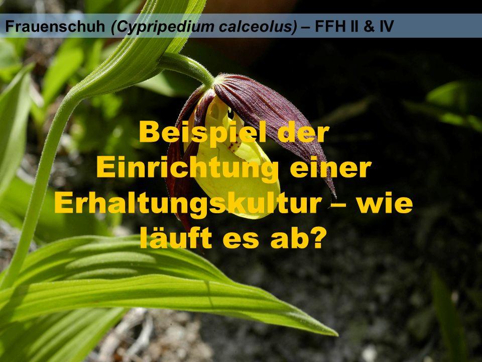 Frauenschuh (Cypripedium calceolus) – FFH II & IV Beispiel der Einrichtung einer Erhaltungskultur – wie läuft es ab?
