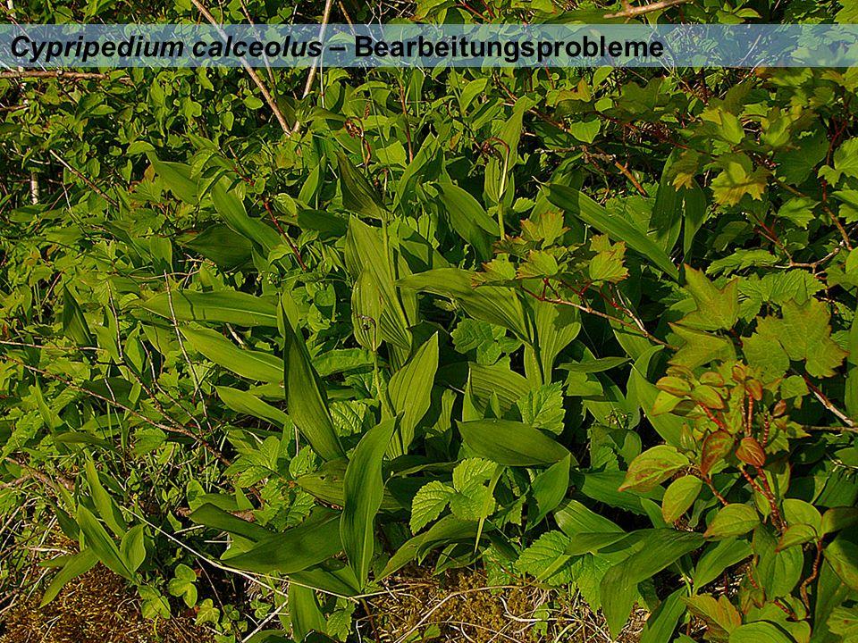 Cypripedium calceolus – Bearbeitungsprobleme