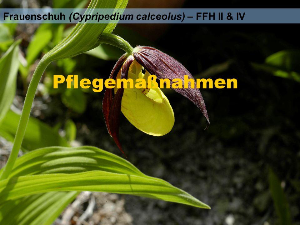 Frauenschuh (Cypripedium calceolus) – FFH II & IV Pflegemaßnahmen