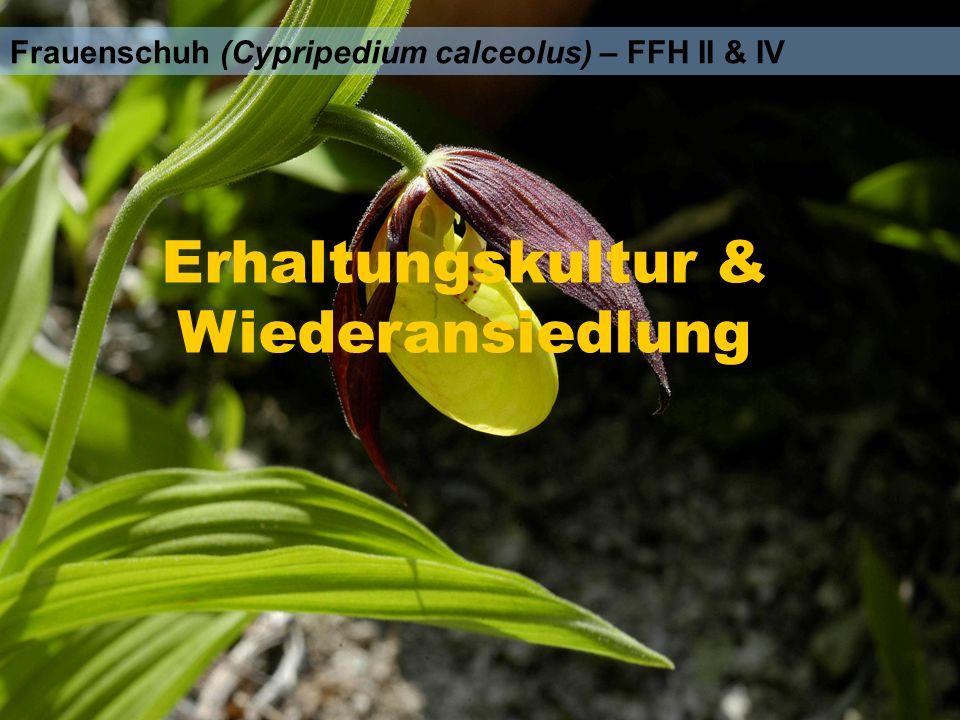 Frauenschuh (Cypripedium calceolus) – FFH II & IV Erhaltungskultur & Wiederansiedlung