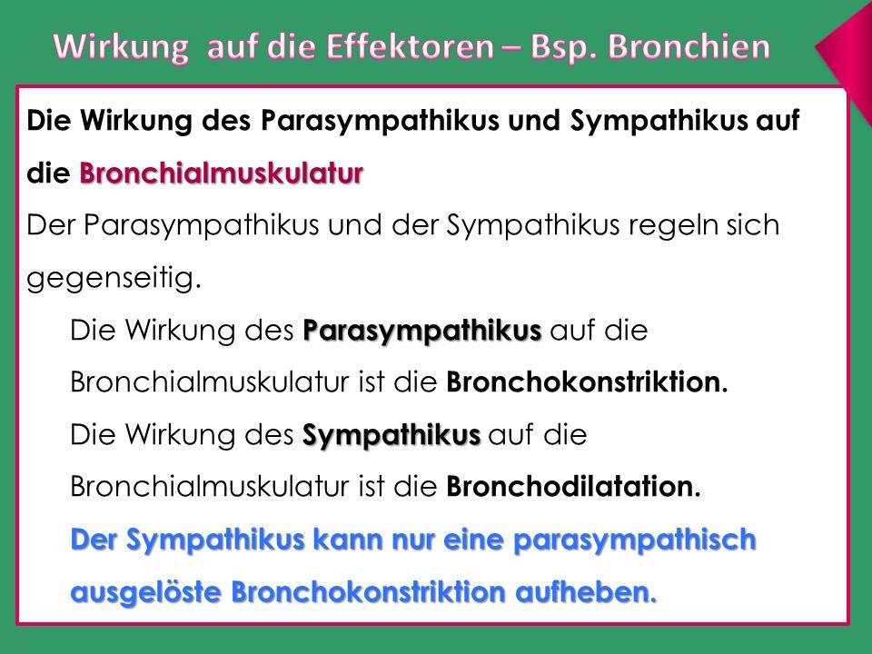 Bronchialmuskulatur Die Wirkung des Parasympathikus und Sympathikus auf die Bronchialmuskulatur Der Parasympathikus und der Sympathikus regeln sich ge