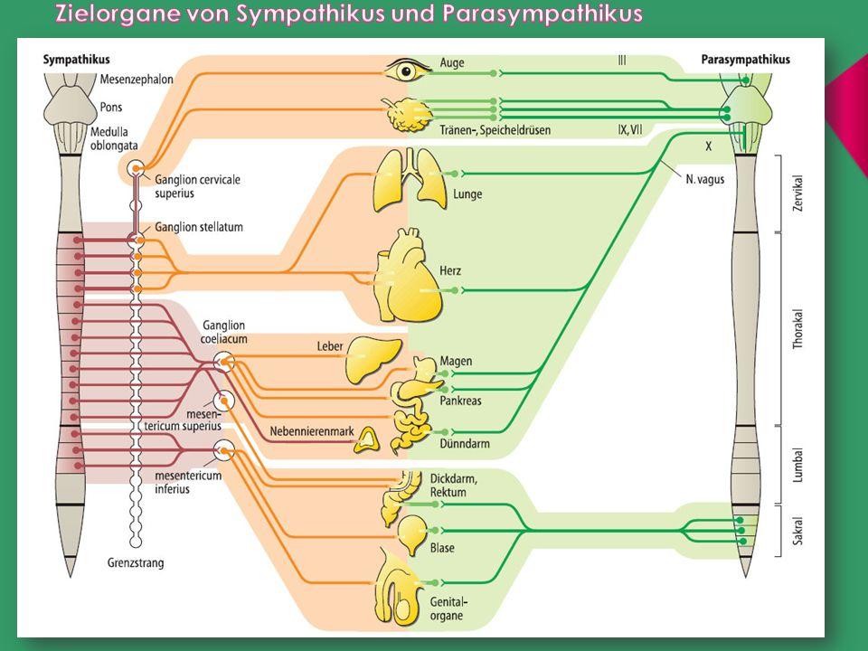 Der Sympathikus nimmt seinen Ursprung etwa in der Mitte des Rückenmarks und verzweigt sich über weite Teile des Körpers.
