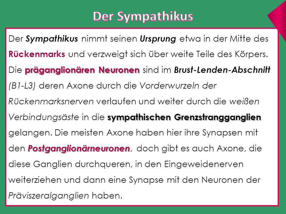 Der Sympathikus nimmt seinen Ursprung etwa in der Mitte des Rückenmarks und verzweigt sich über weite Teile des Körpers. präganglionären Neuronen symp