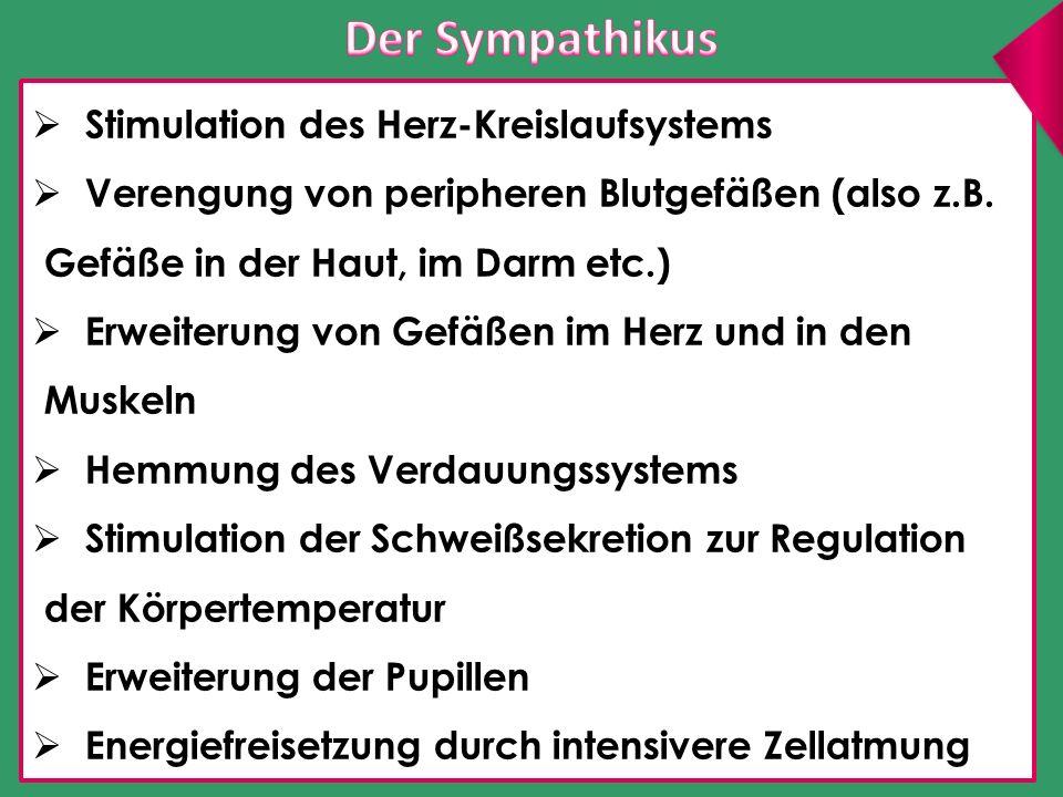 Kreuzparasympathikus Der Parasympathikus (auch er ist stark verzweigt und innerviert im Wesentlichen dieselben Organe wie der Sympathikus) entspringt aus einem Bereich des Rückenmarks, aus der Sakralregion (K2-K4) ( Kreuzparasympathikus ) – hier haben die Beckennerven ihren Ursprung.