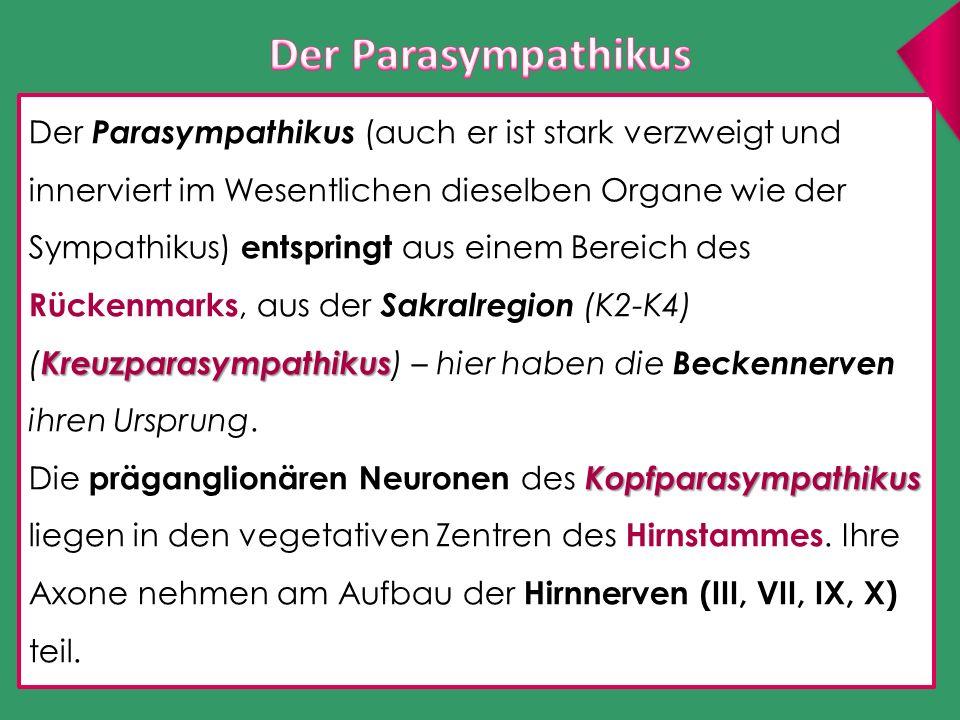 Kreuzparasympathikus Der Parasympathikus (auch er ist stark verzweigt und innerviert im Wesentlichen dieselben Organe wie der Sympathikus) entspringt