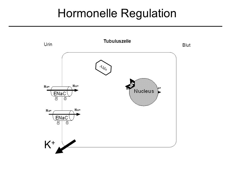 Aldo Urin Blut K+K+ Tubuluszelle Hormonelle Regulation