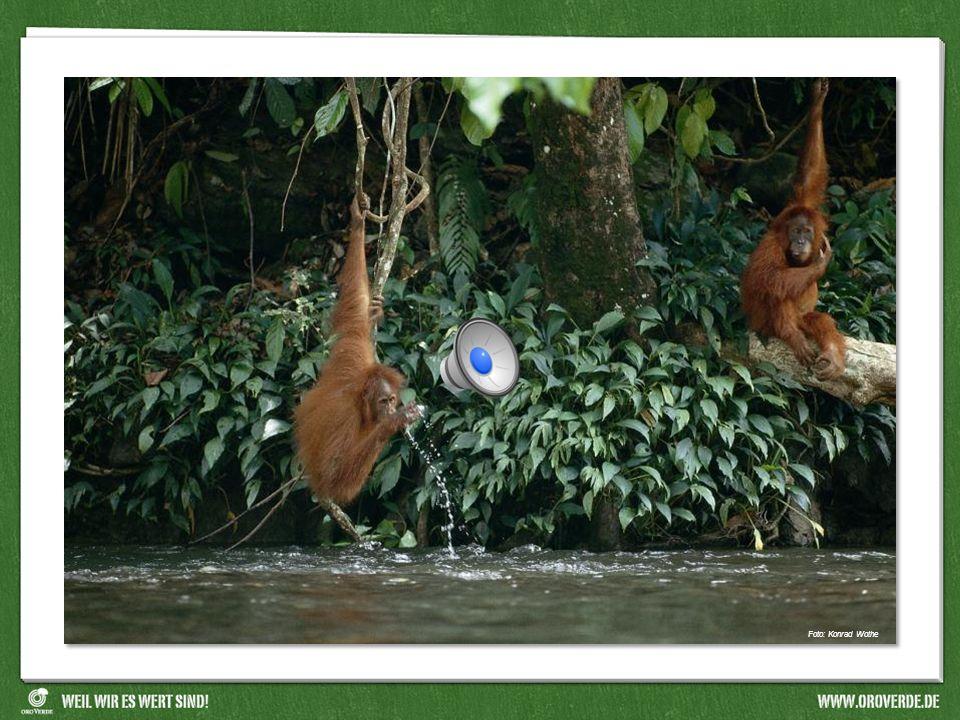 Welche Aussage ist falsch.Foto: Konrad Wothe Foto: OroVerde Orang-Utan Bedeutet Waldmensch.