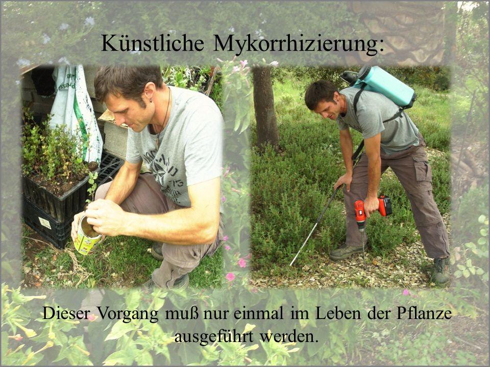 Künstliche Mykorrhizierung: Dieser Vorgang muß nur einmal im Leben der Pflanze ausgeführt werden.