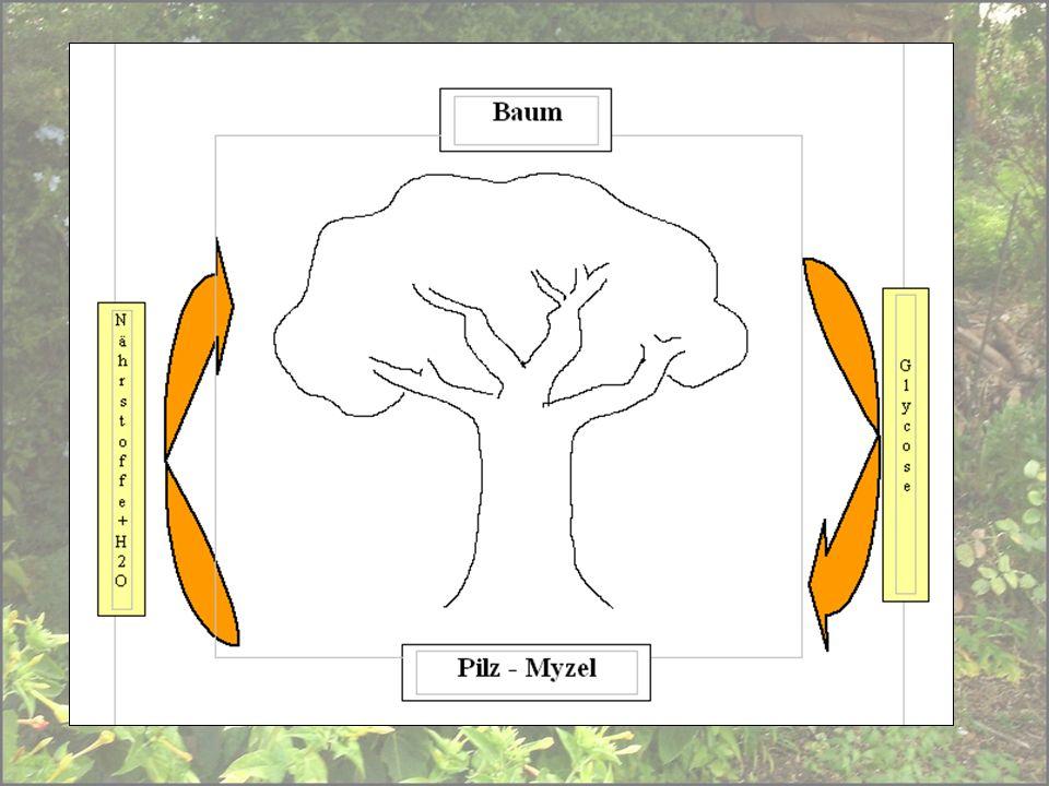 Über 90 % aller Landpflanzen ist auf die Symbiose mit Mykorrhizapilzen angewiesen.