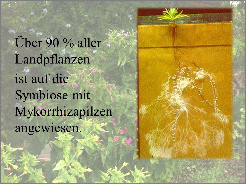 Bei verholzten Pflanzen dominieren die Ektomykorrhiza, bei den krautigen Pflanzen die Endomykorrhiza.