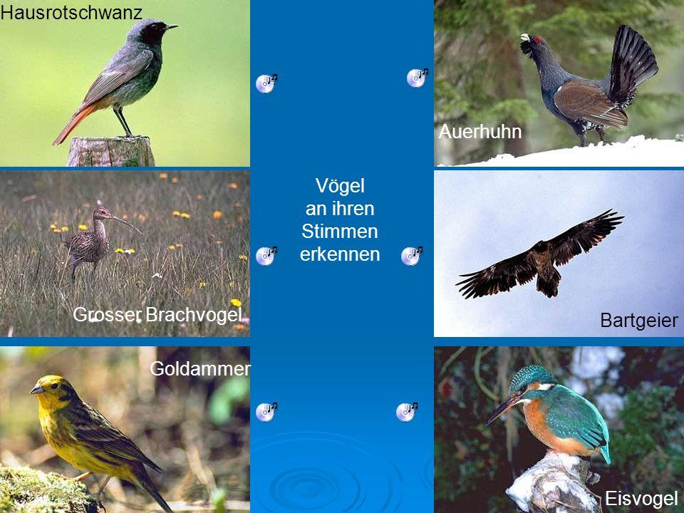 Hausrotschwanz Grosser Brachvogel Bartgeier Goldammer Auerhuhn Eisvogel Vögel an ihren Stimmen erkennen