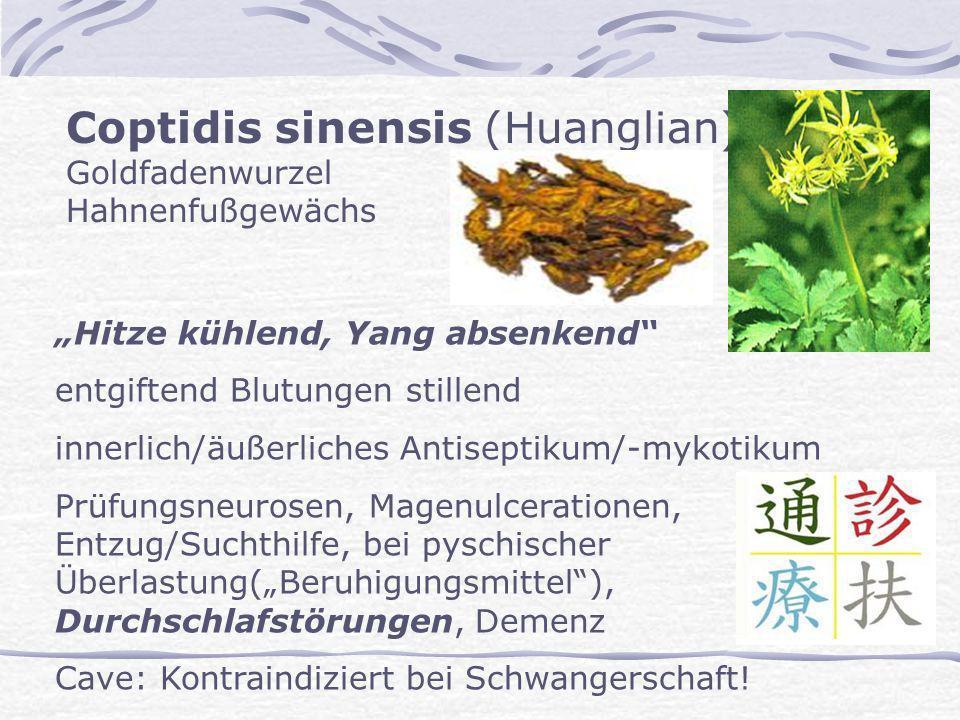 Coptidis sinensis (Huanglian) Goldfadenwurzel Hahnenfußgewächs Hitze kühlend, Yang absenkend entgiftend Blutungen stillend innerlich/äußerliches Antis