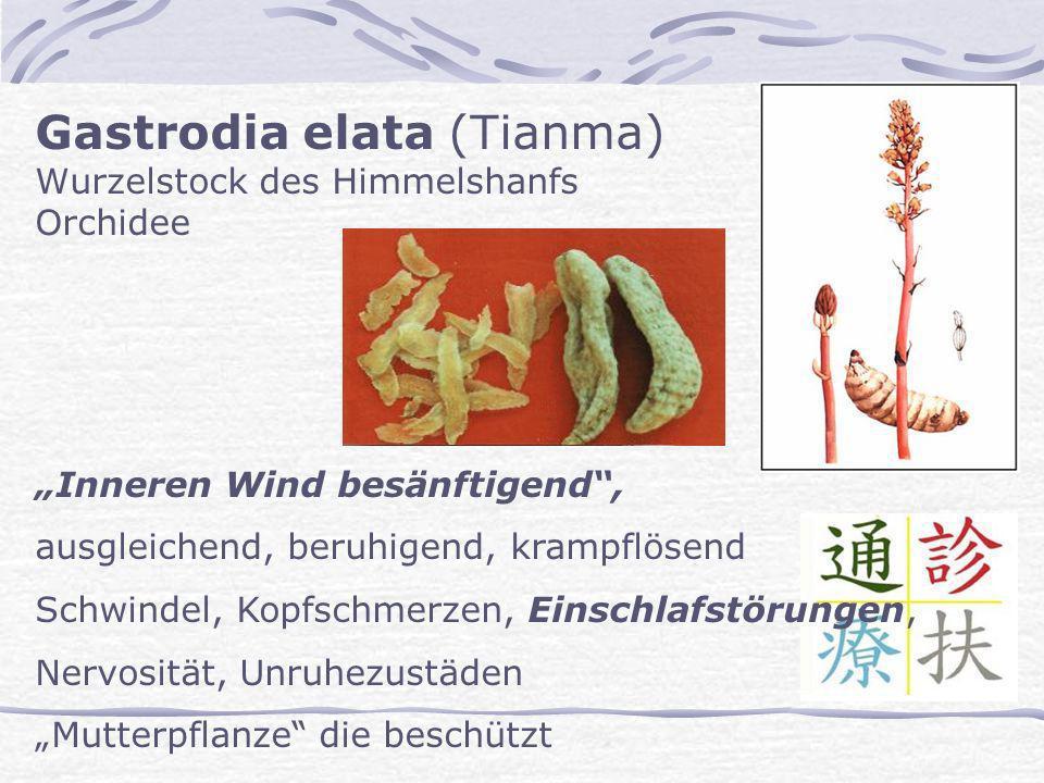 Gastrodia elata (Tianma) Wurzelstock des Himmelshanfs Orchidee Inneren Wind besänftigend, ausgleichend, beruhigend, krampflösend Schwindel, Kopfschmer